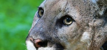 The eastern puma, officially extinct