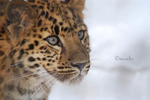 Top ten Leopardos Amur en peligro de extincion Saga Nature Saga Creativa Ecuador