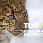 The top 10 photos of the Amur Leopard, a especies in danger of extinction