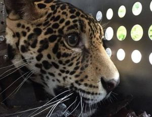 D'Yaira, the jaguar who survived and returned to the jungle