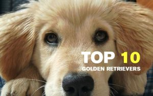 The 10 best pictures of Golden Retrievers