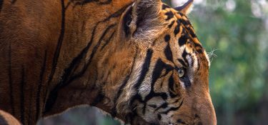 A relief for tigers and rhinos. China maintains the ban on trade in these species, for now.
