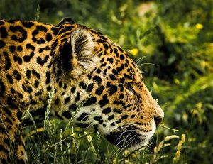 Jaguar, the powerful cat now has its International Day: November 29