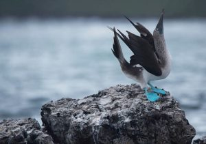 The 10 best pictures of Blue footed boobies