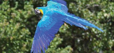 The Blue Macaw is not extinct yet! A specimen rises like a Phoenix