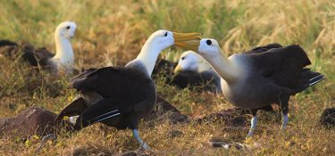 The albatross, an endemic bird of the Galapagos Islands