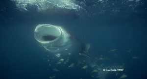 The whale shark, the largest fish in the world