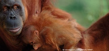 Sumatran orangutans: they're either captured, or they die burned and beaten during the new palm oil plantations