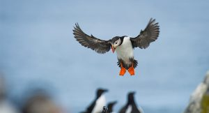 The Atlantic puffin, the story of the bird that lives up to 30 years