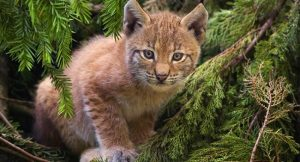 The Eurasian lynx is not just any kitten, they are fierce