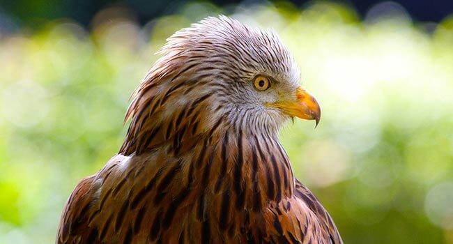 The red kite, one of the main conservation success stories of the last 20 years