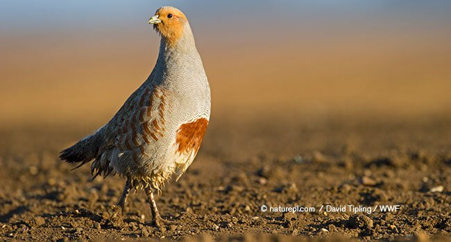 Grey partridge, flies with only 2 weeks of age