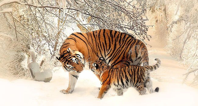 4 reasons why tiger survival is so important for everyone