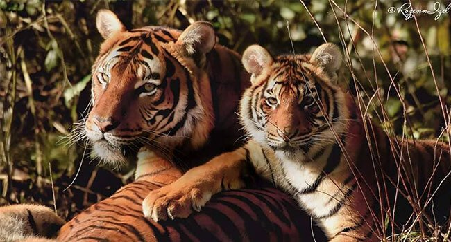 Malayan tiger, only 200 remain