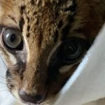 Wildcat (tigrilla) rescued, between life & death