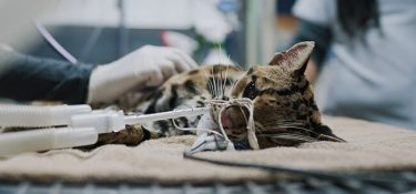 Margay, wild cat rescued from illegal possession